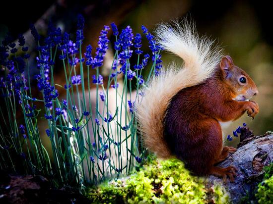 Картина по номерам 40x50 Пушистая белочка в цветах
