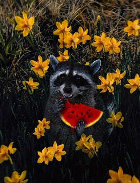 Картина по номерам 40x50 Енот с арбузом в нарциссах