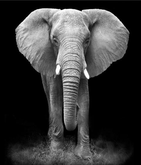 Алмазная мозаика 40x50 Слон на черном фоне